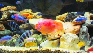 African Cichlids And Their Habits