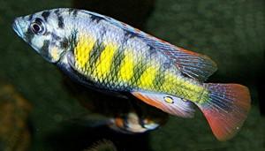 Lake Victoria Cichlids habitat