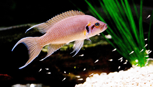 Breeding Cichlid Species