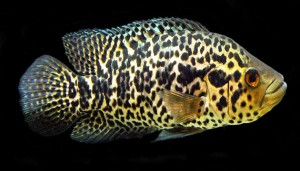 Jaguar Cichlid – The Freshwater And Aggressive Cichlids