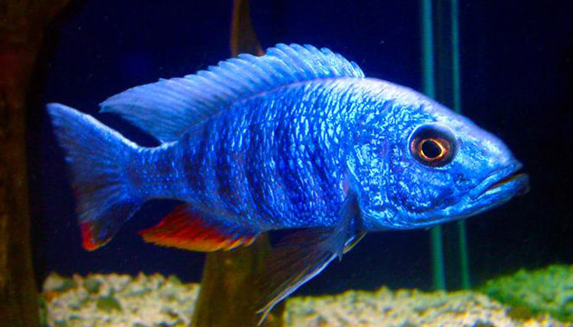 Electric Blue Cichlid Overview
