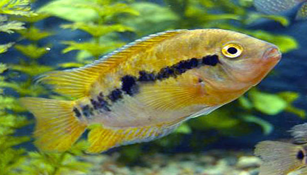 Rainbow Cichlid Overview