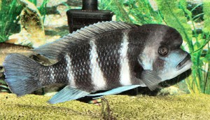 Things You Needs To Know About Frontosa Cichlid