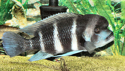Frontosa Cichlid Overview