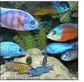 south american cichlids habitat
